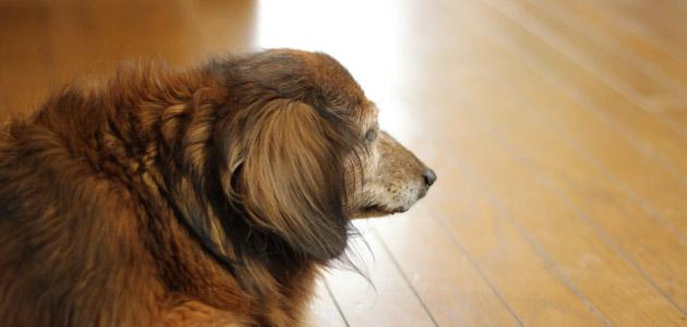シニア犬の画像