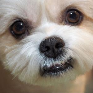 犬の涙やけの画像