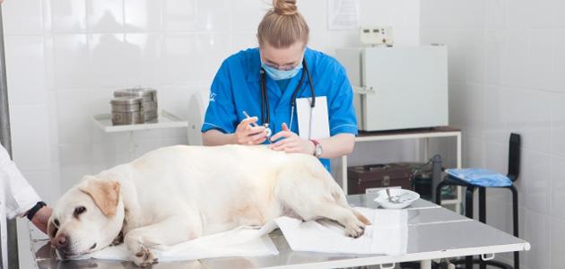 犬のヒート中は避妊手術は避けるべき?適切なタイミングは?